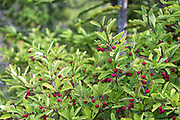 Mountain Holly (Ilex mucronata) on the South Ridge trail of  Cadillac Mountain, Acadia National Park, Maine, USA.