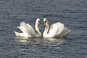 Mute Swans,Cygnus olor, two male birds face to face in sunlight on a lake.