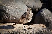 A hood mocking bird (Nesomimus macdonaldi) on Espanola Island, Galapagos Archipelago - Ecuador.
