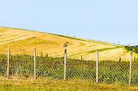 Norway, Klepp. Eurasian curlew.