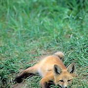 Red Fox, (Vulpus fulva) young kit laying down near entrance to den. Summer.