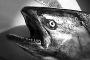 King Salmon, Sitka, Southeast, Alaska