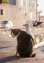 THEMENBILD - URLAUB IN KROATIEN, eine Möwe und eine Katze wartet auf Essensreste von Touristen, aufgenommen am 03.07.2014 in Porec, Kroatien // a seagull and a cat waits for Food from Tourists in Porec, Croatia on 2014/07/03. EXPA Pictures © 2014, PhotoCredit: EXPA/ JFK