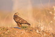 Common buzzard (Buteo buteo) on the ground. This bird of prey is found throughout Europe and parts of Asia, inhabiting open areas, such as farmland and moors, and wooded hills. It grows up to 50 centimetres in length and feeds on small birds, mammals and carrion. Photographed in Israel in December