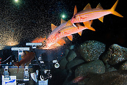 Yellowfin Goatfish, Mulloidichthys vanicolensis, feeding on plankton gathered over HID lights, off Kona Coast, Big Island, Hawaii, Pacific Ocean