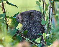 Groundhog. Image taken with a Nikon D5 camera and 600 mm f/4 VR lens