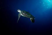 UNDERWATER MARINE LIFE HAWAII TURTLES: Green Sea Turtle