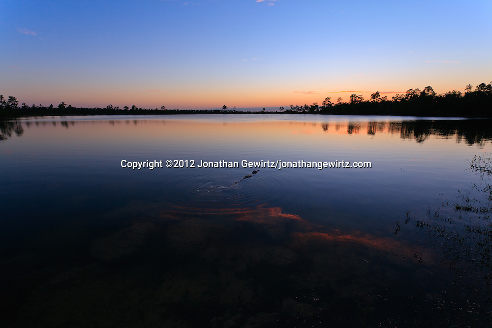 An American Alligator (Alligator mississippiensis) swims away from the camera, towards the middle of Pine Glades Lake in Everglades National Park, Florida shortly after sunset. WATERMARKS WILL NOT APPEAR ON PRINTS OR LICENSED IMAGES.