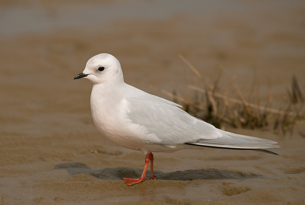 Ross's Gull - Rhodostethia rosea - Winter adult