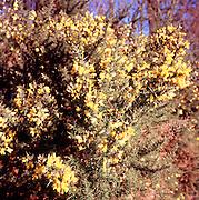 Yellow flowers  Common Gorse Ulex europaeus