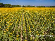 63801-11415 Sunflower field-aerial Jasper Co.  IL