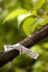 Paper Omikuji fortune message tied to tree at Zenko Ji Temple in Nagano Japan