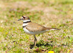 """Several KillDeer have made the trees on the Gold?s Gym parking lot home for the next 26 to 28 days of their incubation period. ..The killdeer frequently uses a """"broken wing act"""" to distract predators from the nest. The name of killdeer is imitative of its cry...I personally Find their cry beautiful what?s funny is how fast the little birds run."""