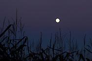 Middletown, New York  - The full moon rises over corn plants on Sept. 18, 2013. ©Tom Bushey / The Image Works
