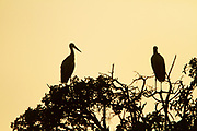a flock of White storks (Ciconia ciconia) roosting on a treetop at sunset. The white stork is found in parts of Europe and southwestern Asia, and is a winter migrant to Africa and southern India. Photographed in Israel in Spring