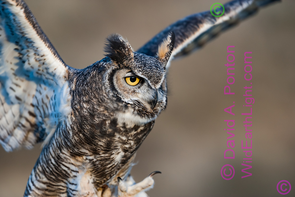 Great-horned owl portrait as it lands with feet forward, © David A. Ponton