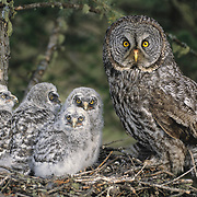 Great gray owl (Strix nebulosa) portrait of an adult and chicks in a nest in an old growth forest. Montana