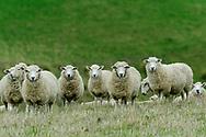 Oceania; New Zealand; Aotearoa; South Island; Otago, sheep