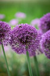Allium 'Jackpot' with bumblebee