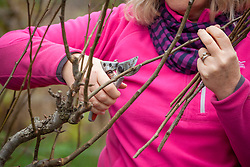 Pruning a pear tree in winter, cutting stems back to just above a bud. Pyrus communis 'Conference.
