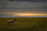 A lone Topi at sunrise in the Masai Mara National Park, Kenya
