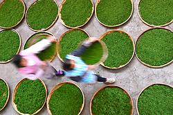 THEMENBILD - Bei der traditionellen Produktion von Schwarztee, orthodoxe Teeproduktion genannt, durchlaufen die Teeblätter fünf Stufen: das Welken (Withering), damit die Blätter weich und zart werden, das Rollen (Rolling), das Aussieben, die Oxidation und zum Schluss die Trocknung (Firing). Um die Blätter nach dem Pflücken zu erweichen, wurden sie früher zwei Stunden in die Sonne gelegt. Später verwendete man Welkhürden in speziellen Hallen, in denen eine Temperatur von 20 bis 22 °C herrschte. Der Welkprozess dauerte dann bis zu 24 Stunden. Heute werden meistens so genannte Welktunnel eingesetzt, die die Teeblätter auf Fließbändern durchlaufen. Die Stärke der Welkung wirkt sich (im umgekehrten Verhältnis) auf den Grad der später erzielbaren Oxidation aus. Aufgenommen in Zhongcunba am 7. April 2016 // Workers air the newly picked tea leaves in Zhongcunba Village of Xuan'en County, central China's Hubei Province, April 7, 2016. EXPA Pictures © 2016, PhotoCredit: EXPA/ Photoshot/ Song Wen<br /> <br /> *****ATTENTION - for AUT, SLO, CRO, SRB, BIH, MAZ, SUI only*****