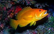 UNDERWATER MARINE LIFE CARIBBEAN, FISH; Yellow phase coney; Cephalopholis fulva