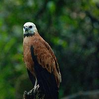 A Black-collared hawk (Busarellus nigricollis) perches in a tree in Peru's Amazon Jungle.