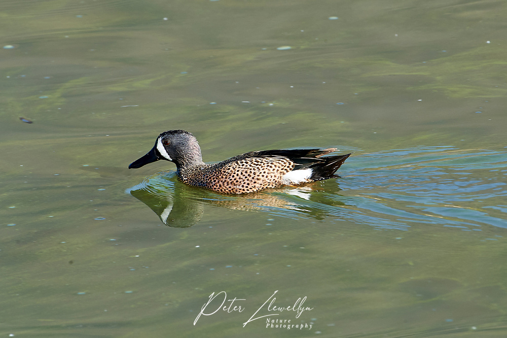 Blue-winged Teal (Anas discors) swimming on Lake Chapala, Jocotopec, Jalisco, Mexico