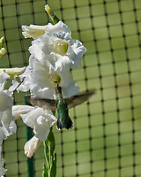 Ruby-throated Hummingbird and Gladiolus. Image taken with a Nikon D850 camera and 70-300 mm VR lens.