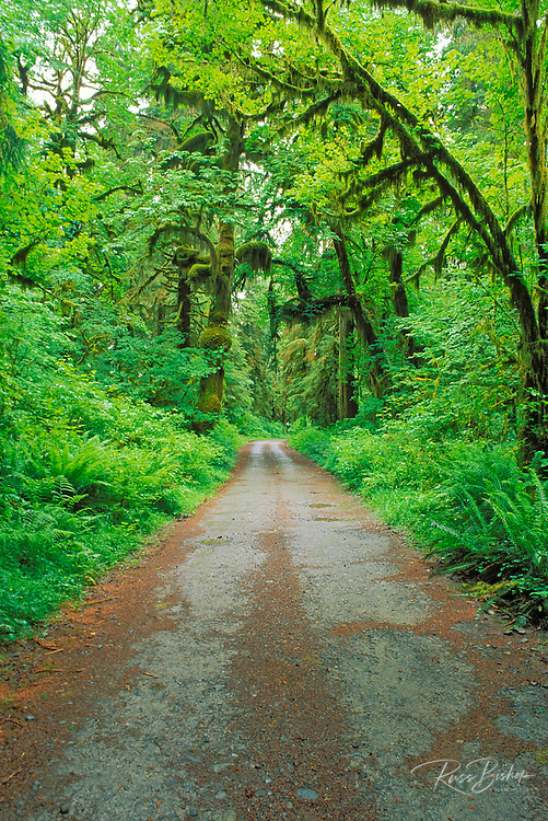 Moss-covered bigleaf maple and lush groundcover along the Queets River Road, Queets Rain Forest, Olympic National Park, Washington