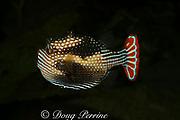 ornate cowfish (male), Aracana ornata, Victoria, Australia