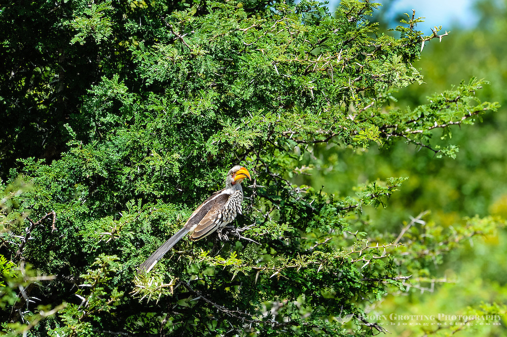 The Southern Yellow-billed Hornbill is a Hornbill found in southern Africa. Kruger National Park, the largest game reserve in South Africa.