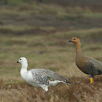 Upland Geese graze in meadows on New Island, in Britain's Falkland Islands.  Males are white-breasted.