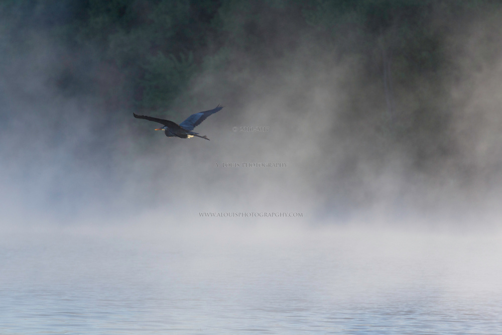 Great Blue heron in flight on a foggy morning in Michigan