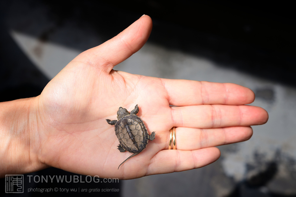 This is a juvenile Chinese pond turtle (Mauremys reevesii), photographed just a few days after it was born. This individual was found on a road in Japan, far from water, when it was only 2.8cm, perhaps picked up and transported by a crow shortly after birth. This species is semiaquatic in the wild, found in marshes, ponds, streams and similar bodies of shallow water. It is listed as Endangered on the IUCN Red List, threatened by several causes, including competition from introduced species, loss of habitat, and use in Chinese medicine. This species is also popular in the global pet trade. Though the species had earlier been considered native to Japan, genetic testing in recent years suggests multiple introductions from outside Japan.