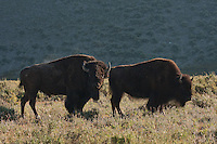 Anything you've heard about seeing bison (aka Buffalo) all over the place in Yellowstone National Park is absolutely true.  They are extremely abundant and very easy to find...©2009, Sean Phillips.http://www.Sean-Phillips.com