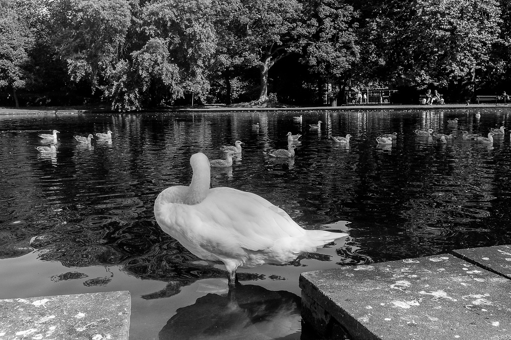 Swan in a pond at St. Stephen's Green, Dublin, Ireland.
