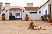 Dogs in the court yard. The old farm house in traditional Portuguese style. Herdade da Malhadinha Nova, Alentejo, Portugal