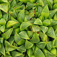 """""""Bundles of Beauty""""<br /> <br /> This lovely image is a variety of succulent known as Haworthia, or Haworthia Nitidula.<br /> For succulent lovers, green lovers or lovers of abstracts in nature this image is for you!!<br /> <br /> Nature of this World by Rachel Cohen"""