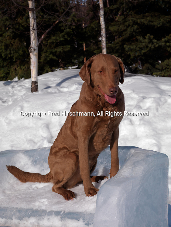 """Chesapeake Bay Retriever, AKC, 4-year-old """"Niki"""" photographed in Anchorage, Alaska and owned by Lynda Barber-Wiltse, of Anchorage, Alaska.  (PR)"""