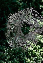 Spider's web<br /> Cobweb