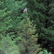 Great Gray Owl, (Strix nebulosa)  Adult on Douglas Fir tree, hunting. Montana.
