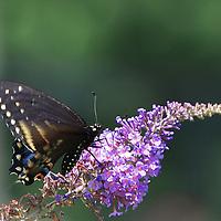 Black Swallowtail Butterfly feeding on a butterfly bush.