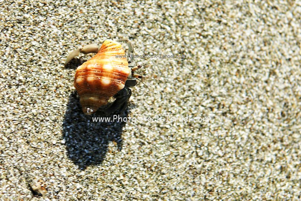 Hermit crab (Coenobita compressus) on the beach, Manuel Antonio National Park, (Parque Nacional Manuel Antonio), Costa Rica