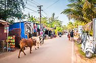 Cows in the road, Agonda Beach, Goa, India
