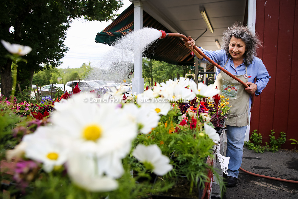 (6/8/15, UPTON, MA) Mary Owanesian gives the flowers a drink at Kelly's Family Farm in Upton on Monday. Daily News and Wicked Local Photo/Dan Holmes