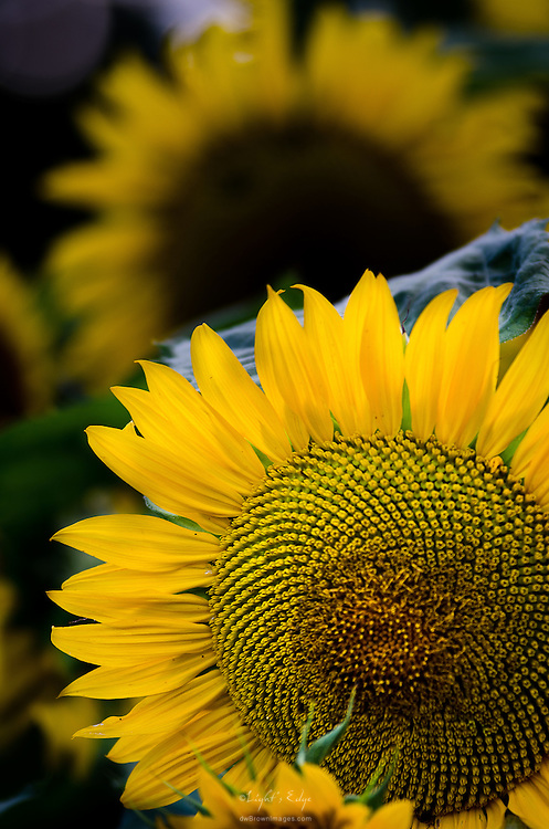 Sun Flowers thriving at Muth's Family Farm in Monore Township, Gloucester County, NJ.