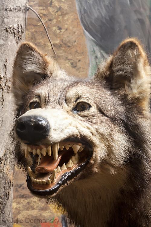 Wolf on display at the Fairbanks Museum & Planetarium in St. Johnsbury, Vermont.