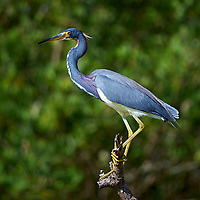 Tricolored Heron on a Branch. Along Biolab Road at Merritt Island National Wildlife Refuge in Florida. Image taken with a Nikon Df camera and 300 mm f/4 lens (ISO 100, 300 mm, f/4, 1/1250 sec).